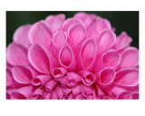 Pink Dahlia Photographic Print by Bernadette Mangione