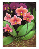 Phalaenopsis Orchids Giclee Print by Carolyn Mcfann