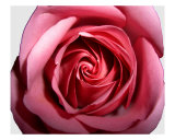 Red Rose H Photographic Print by Dmitry Raguimov