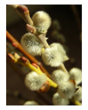 Pussy Willow Photographic Print by Mary Lane