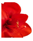 Amaryllis Photographic Print by Mary Lane