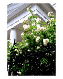 Noisette Roses, First Baptist Church Photographic Print by Benjamin Padgett