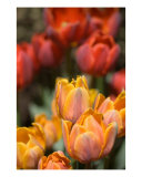 Tulip Garden Photographic Print by Mary Lane