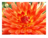 Orange Dahlia Photographic Print by Mary Lane