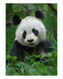 Smiling Panda Portrait Photographic Print by Breene Yuen