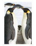 Emperor Penguin Photographic Print by David Schultz