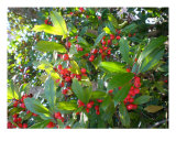 Holly Glory Photographic Print by Jacquelyn Kleine