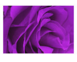 Violet Rose Photographic Print by Paul Huchton