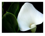 White Calla Lily Close Up Photographic Print by Sally Stoneking