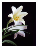 Easter Lily Photographic Print by Rees Gordon
