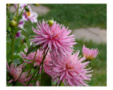 Pink Dahlias Photographic Print by Kattarina Leander