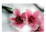 Cherry Blossom Photographic Print by Allyson Ricketts