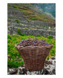 Grape Harvest In Azores Islands Photographic Print by Gaspar Avila