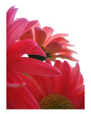 Pink Gerber Daisies Photographic Print by Kelly Hoffart