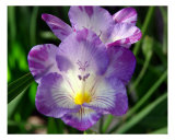 Pretty Purple Flower Fotodruck von Francisco Valente