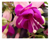 Fushia Blossom Detail Photographic Print by Francisco Valente