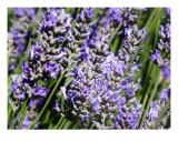 Lavender Photographic Print by Mary Lane