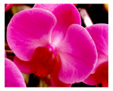 Orchid Flower I Close Up Photographic Print by Francisco Valente