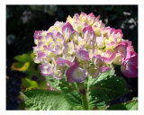 Hydrangeas Photographic Print by Francisco Valente