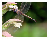 Dragon Fly Close Up Fotodruck von Francisco Valente