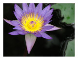 Waterliliy In A Pond Fotografie-Druck von Francisco Valente