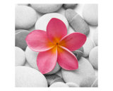 Pink Frangipani on Pebbles Photographic Print by Alex Bramwell