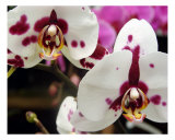 Orchid III Photographic Print by Francisco Valente