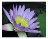 Waterlily Flower Fotografie-Druck von Francisco Valente