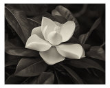 Awakening Magnolia Photographic Print by V Lausen