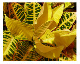 Croton Photographic Print by Florene Welebny