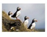 Puffins Photographic Print by Mary Lane