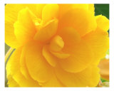 Yellow Rose Detail Fotodruck von Francisco Valente