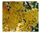 Hawaiian Gold Shower Tree Photographic Print by Lorrie Morrison