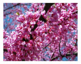 Eastern Redbud Photographic Print by Mary Lane