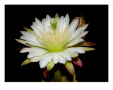 Night Blooming Cactus Fotografie-Druck von Francisco Valente