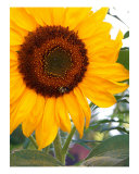 Sunflower With Bee Close Up Photographic Print by Karin Kalabra