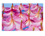 Floating Frangipani Abstract Photographic Print by Alex Bramwell