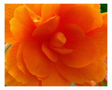Orange Rose Blossom Detail Photographic Print by Francisco Valente