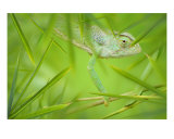 Chameleon Photographic Print by Alex Bramwell