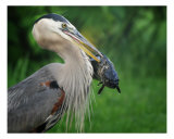 Big Blue Heron And Fish Photographic Print by Clarence Carvell
