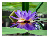 Water Lily In Pond II Photographic Print by Francisco Valente