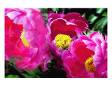 Peppers Peony Garden Photographic Print by Lorrie Morrison