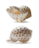 Seashell Study Photographic Print by Alex Bramwell
