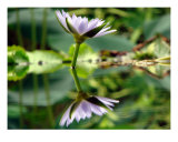 Water Lily Fotografie-Druck von Francisco Valente