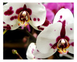 White Orchid Close Up I Giclee Print by Francisco Valente