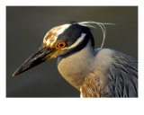 Yellow Crowned Night Heron Photographic Print by David Thompson