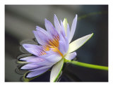 Water Lily Floating Fotografie-Druck von Francisco Valente