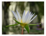 Waterlily Close Up I Photographic Print by Francisco Valente