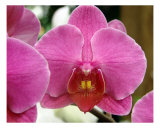 Orchid Flower Close Up IV Photographic Print by Francisco Valente