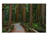 Muir Woods, California Photographic Print by Anna Miller